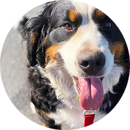 F-Bernese-Wiki-Circle2.png