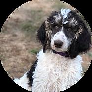 Female Poodle Cleo