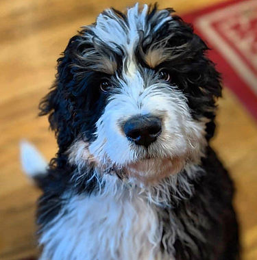 Bernedoodle Puppy looking up