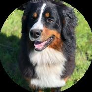 Female Bernese Mountain Dog Helena