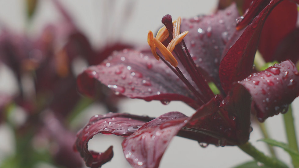 lily-flower-and-water-drops-2880x1620_85