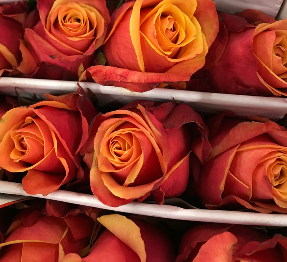 Shades of Sunset ...roses awaiting their unveiling