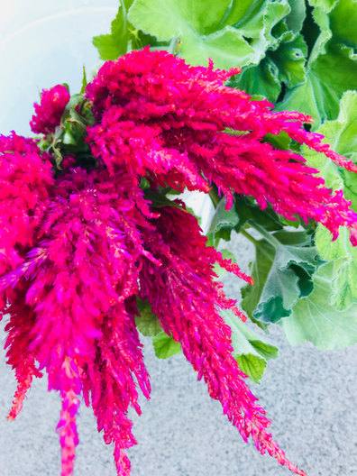 feathery celiosa in Hot Pink