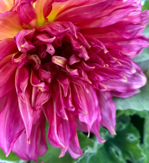 neon pink dahlia