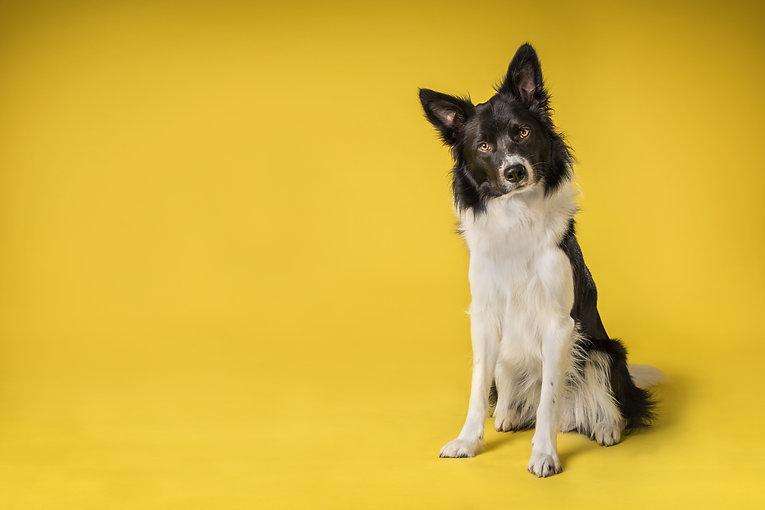 Border Collie Dog portrait in studio on