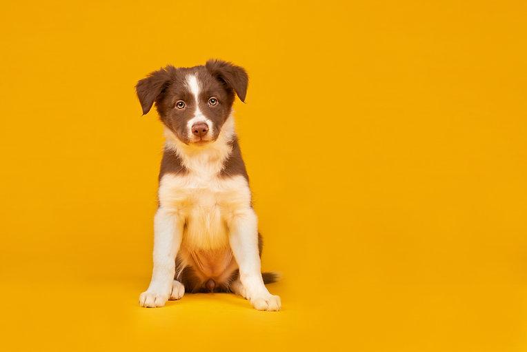 Happy puppy - red and white border colli