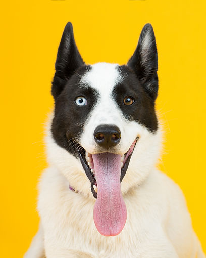 adorable rescue dog with two differently colored eyes at an adoption center, with a bright