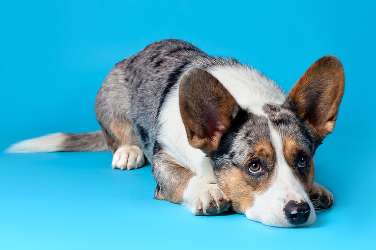 Cute Welsh Corgi Cardigan dog lying on b