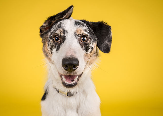 Cute, happy dog headshot smiling on a br