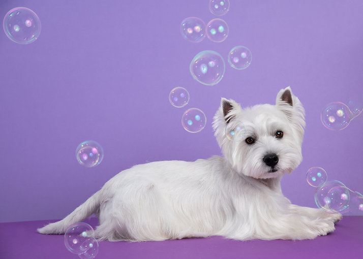Cute West Highland White Terrier dog on