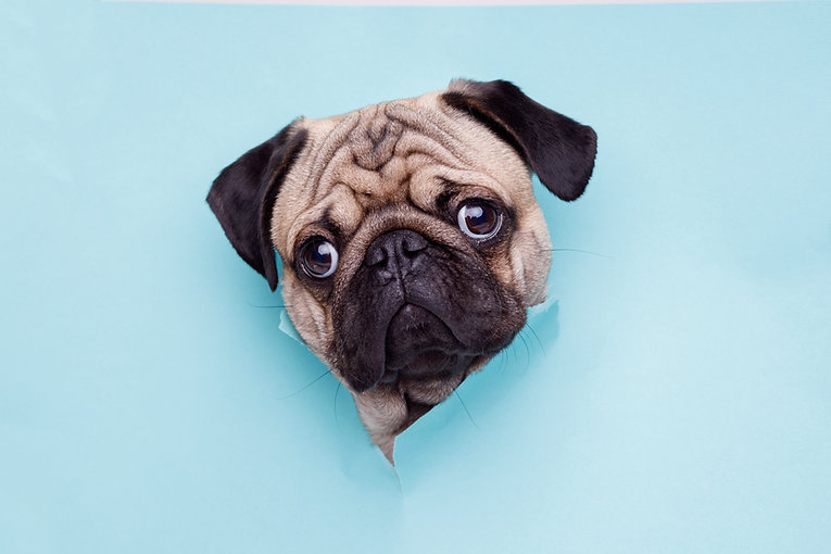 Portraite of cute dog of the pug breed c