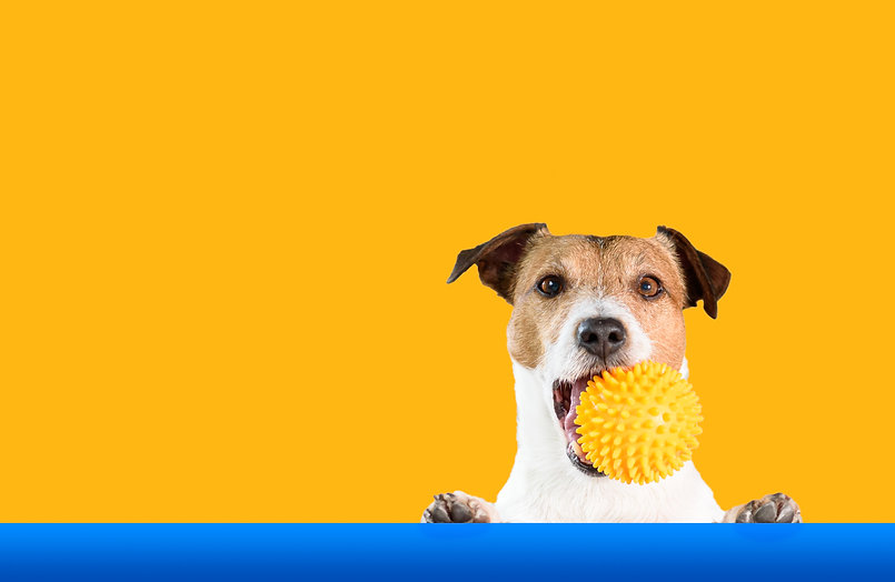 Dog holding doggy toy ball in mouth with