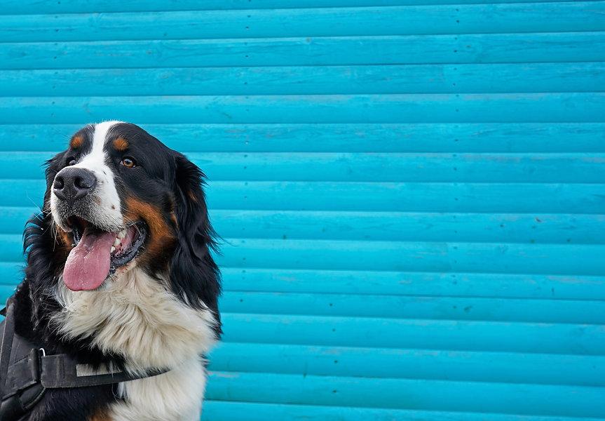 Portrait of Bernese Mountain Dog, bright blue background .jpg