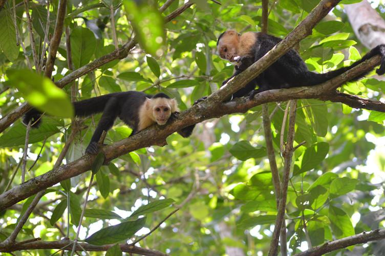 Cappucin Monkeys.JPG