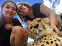 Geparden