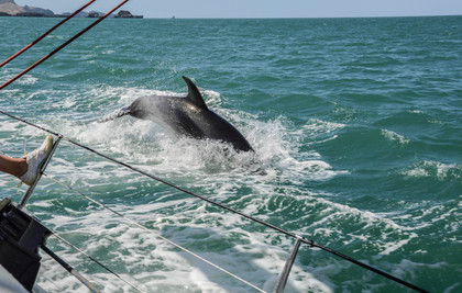 Dolphin in Bay of Islands