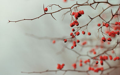 red berries on a leafless branch