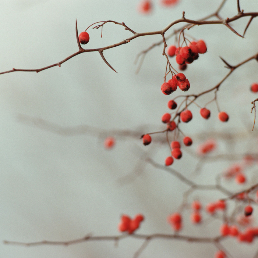 Branches de Berry