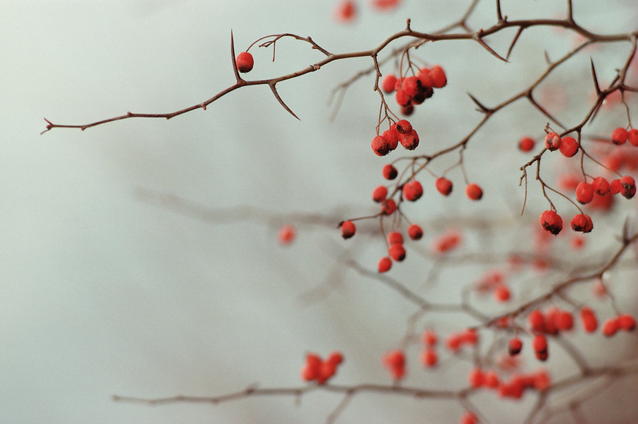 Serene red berry branches