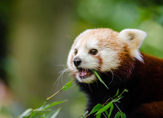 Doctor, Your Patient Is Waiting. It's a Red Panda.