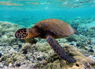 More Female Sea Turtles Born as Temperatures Rise