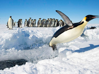 An Emperor Penguin Colony in Antarctica Vanishes