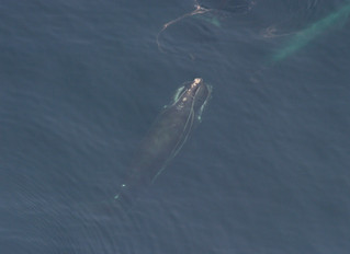 As Seas Warm, Whales Face New Dangers