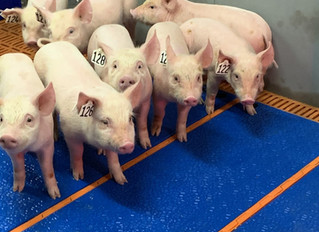 Meet the pigs that could solve the human organ transplant crisis