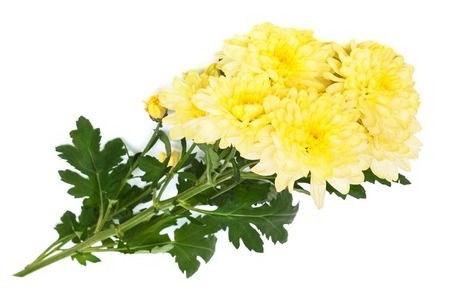 21803758-yellow-chrysanthemums-on-a-whit