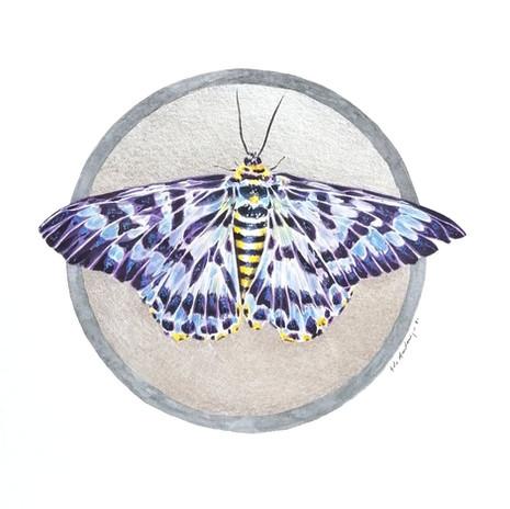 Lepidoptology addict nº7