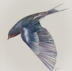 Hirundinidae Purpura