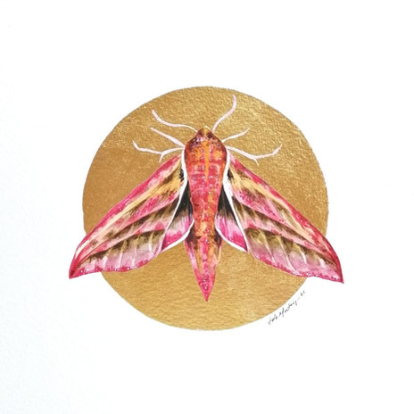 Lepidoptology addict nº5