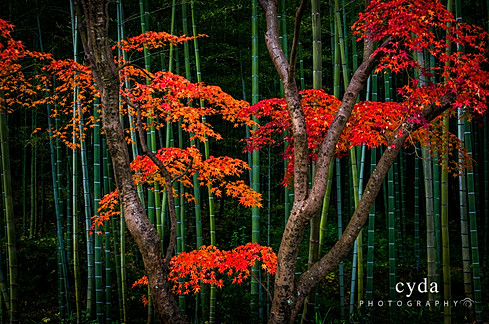 Bamboo in Red