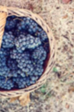 Dark grapes in a basket. Grape harvestin