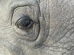 White Rhino - I see you!