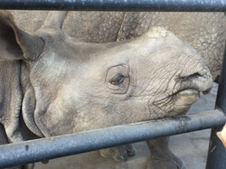 White Oak 3 Baby Rhino