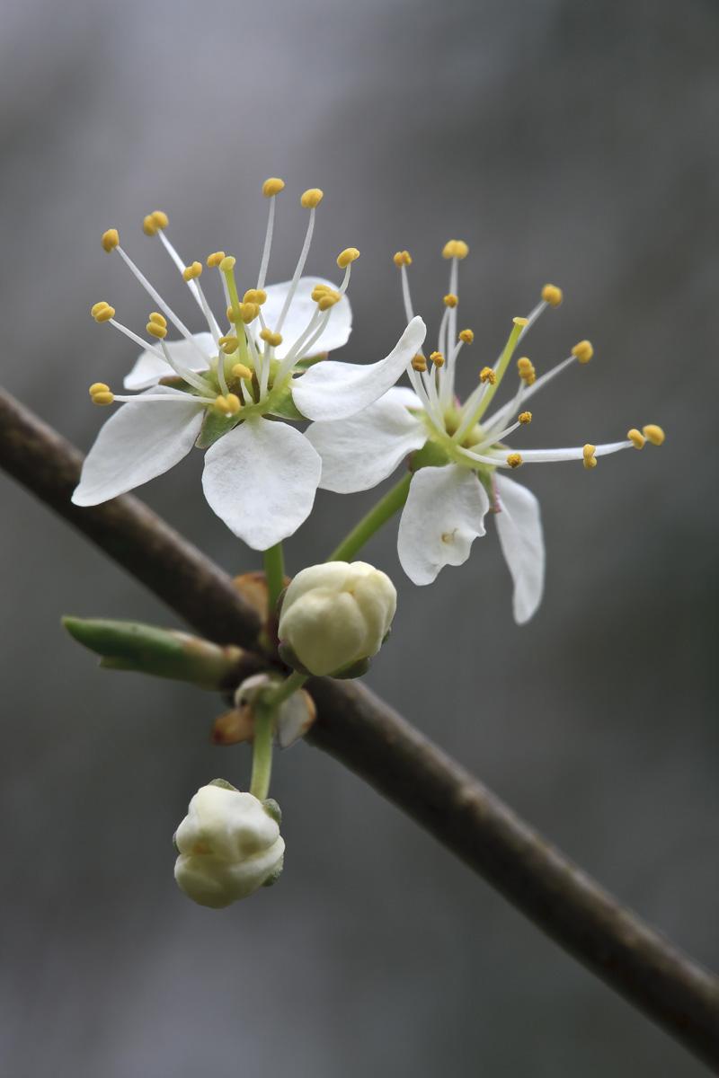 Blackthorn Flower II