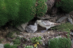 Fulmar with Chick