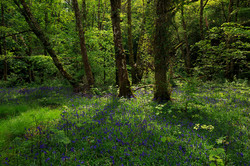 Bluebell Clearing