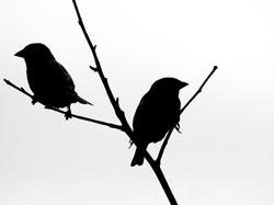 Sparrows, County Clare