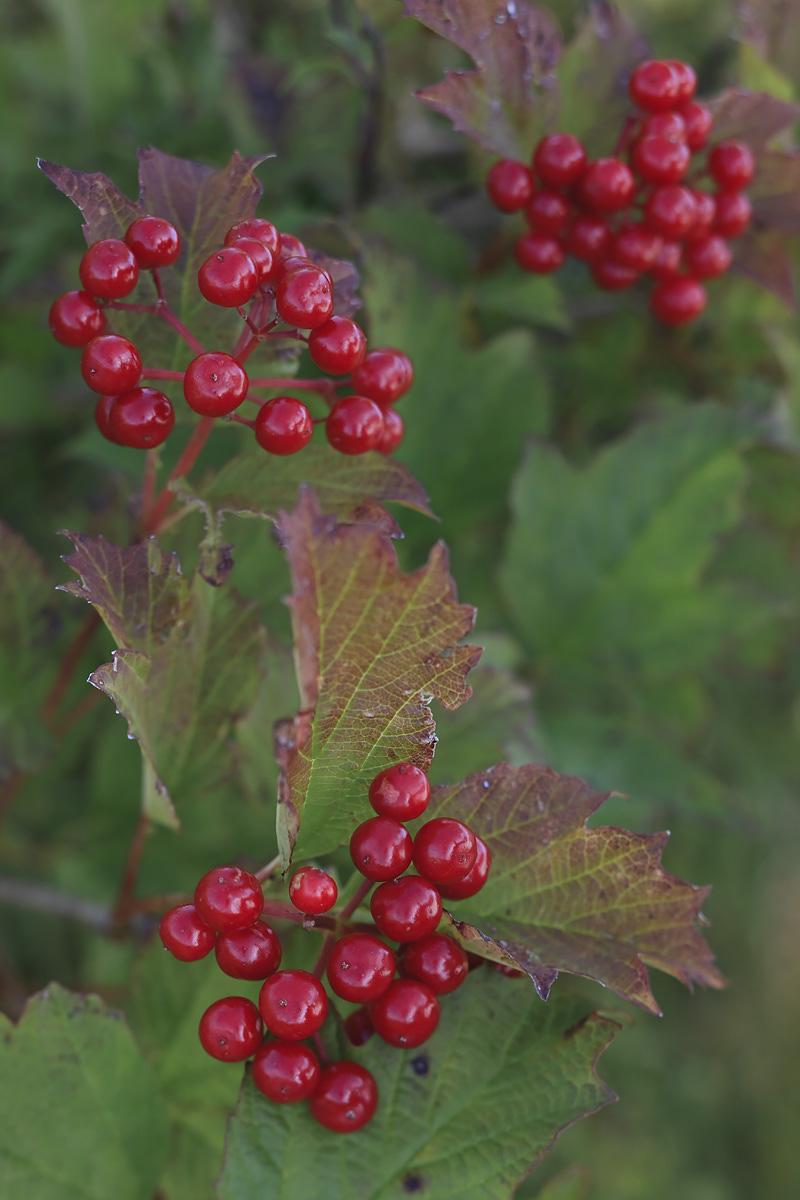 Guelder Rose Fruits