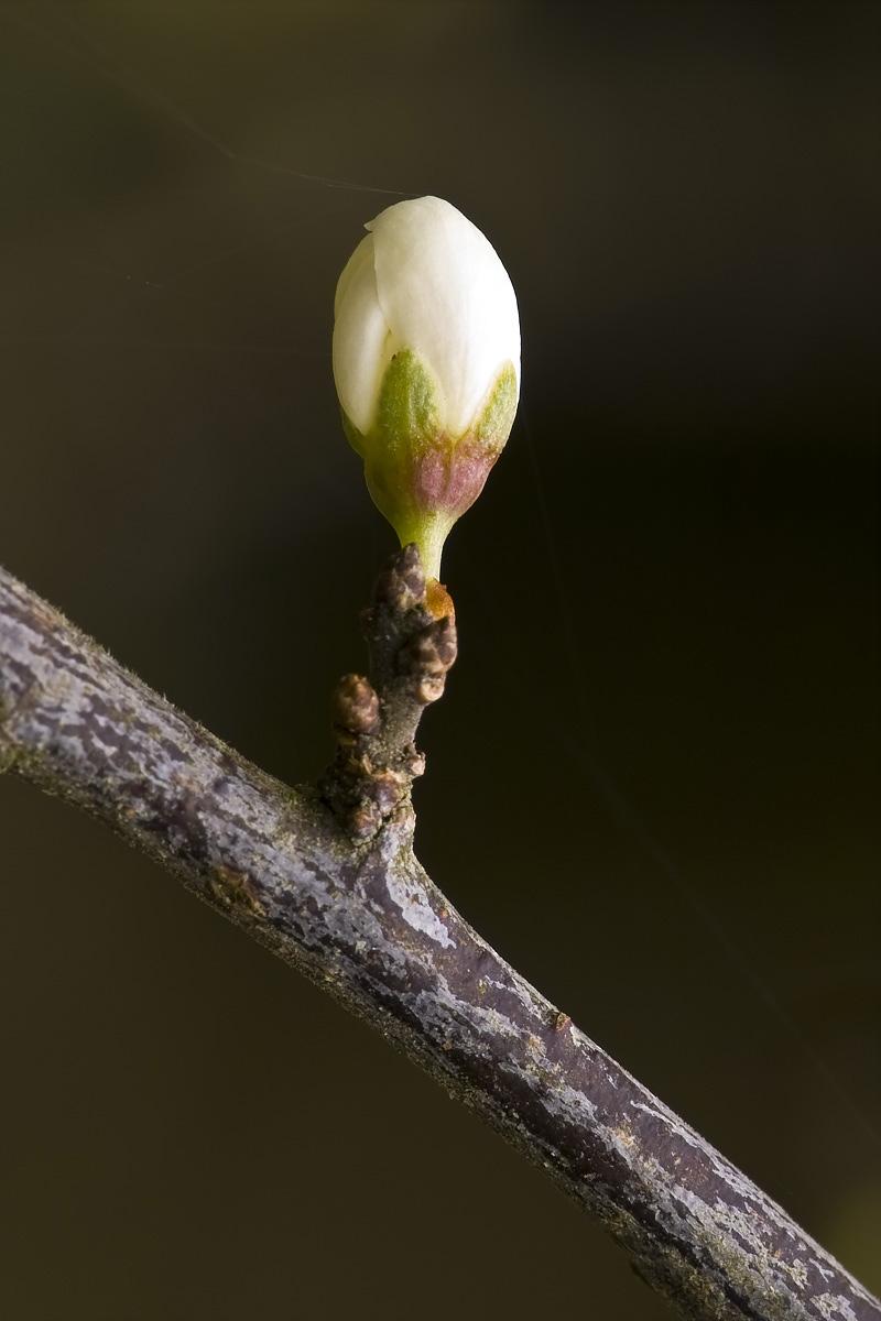 Blackthorn Flower I