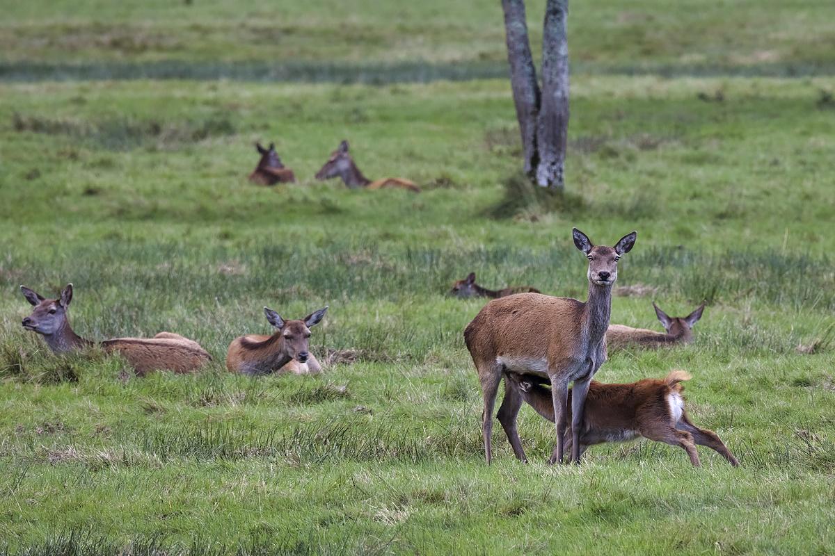 Red Deer II
