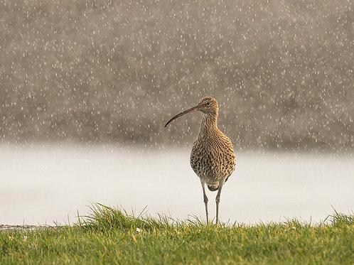 Curlew in the Rain
