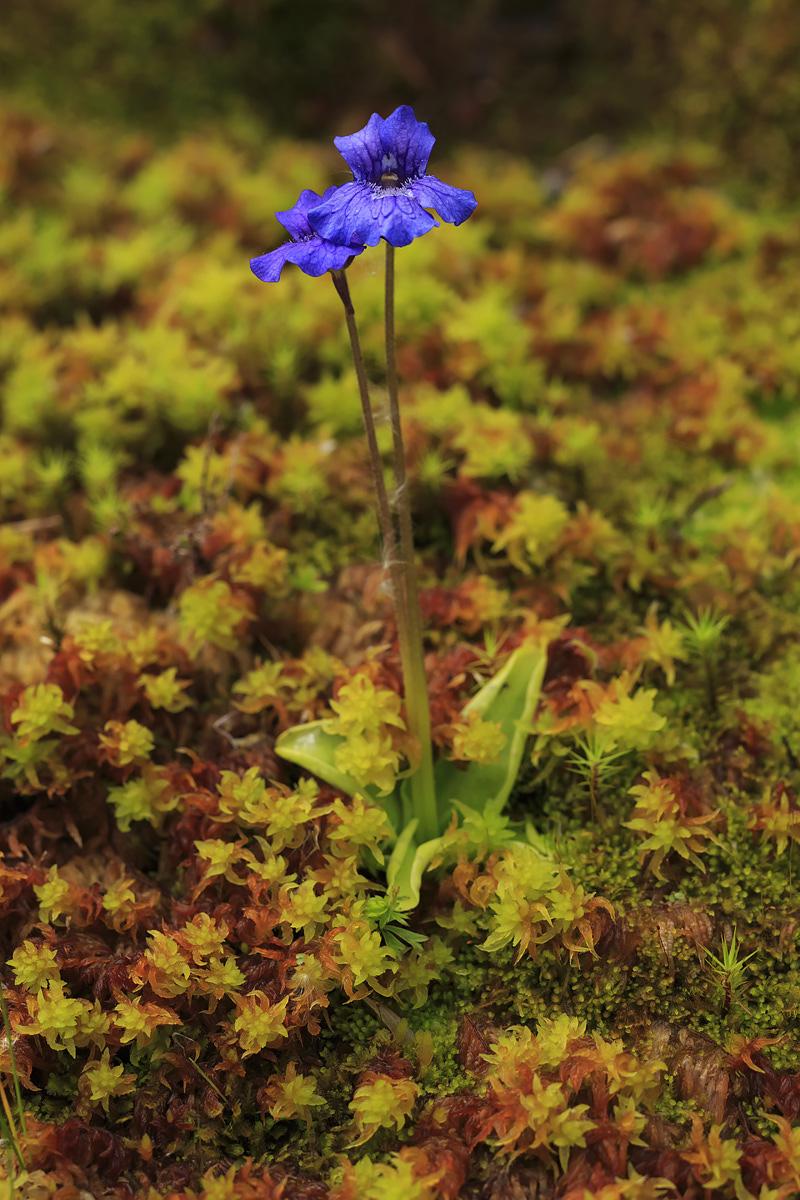 Large Flowered Butterworth
