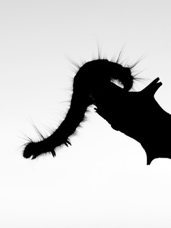Caterpillar Acrobatics, County Clare