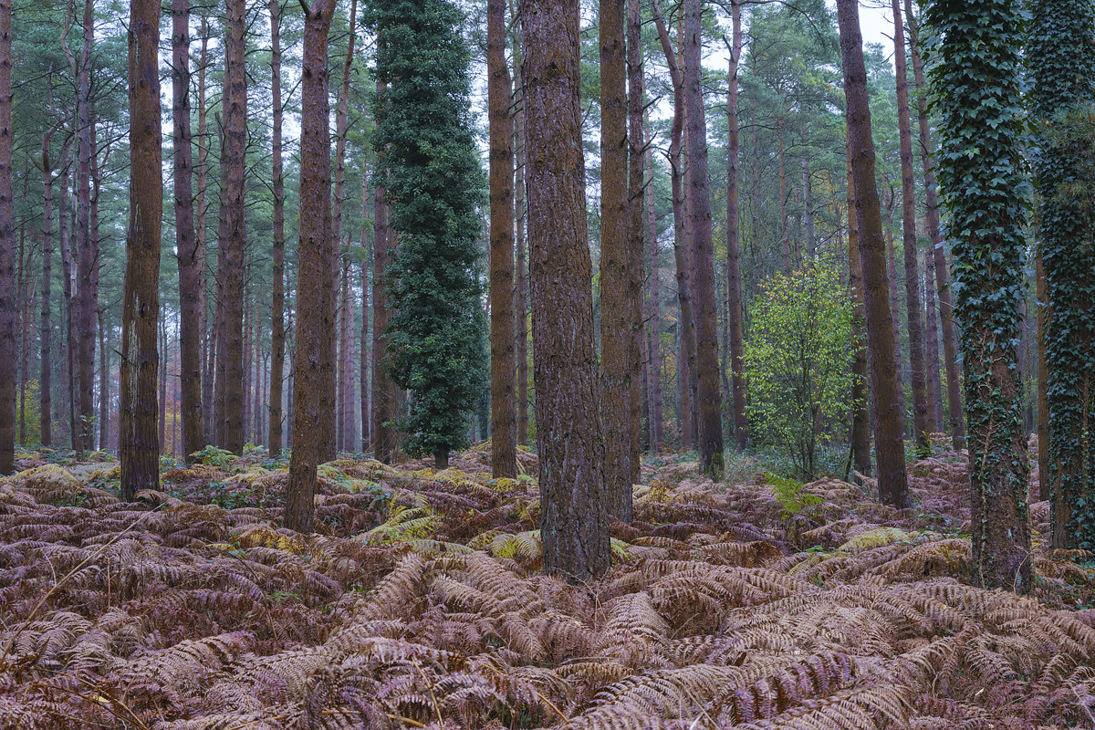 Portumna Forest Park, County Galway