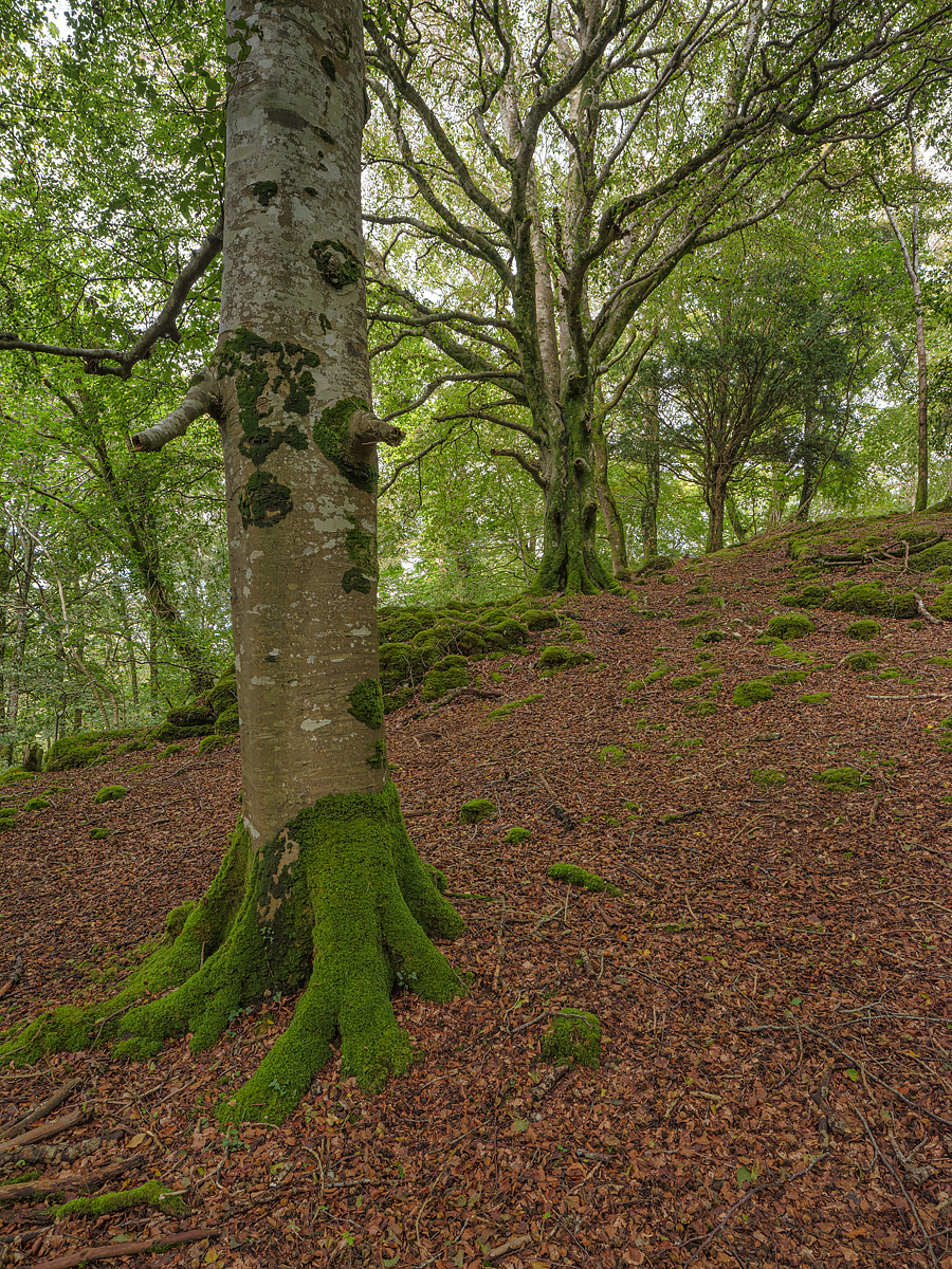Beech Trees on Ross Island