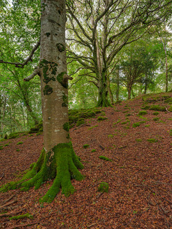 Beech Trees on Ross Island