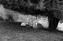 Sheep, County Kilkenny